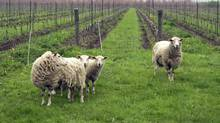 Sheep in a vineyard. (Photos.com)