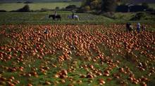 People pick from dozens of pumpkins at Michell Bros. Farm in Central Saanich, B.C., on Oct 13, 2013. (CHAD HIPOLITO for The Globe and Mail)
