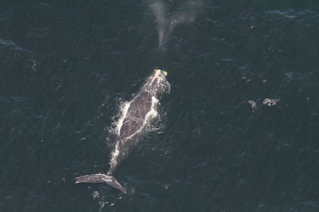 A North Atlantic right whale surfaces in the waters of the Gulf of St. Lawrence. The whales have been a more common sight in the gulf this summer as they move farther north to feed.