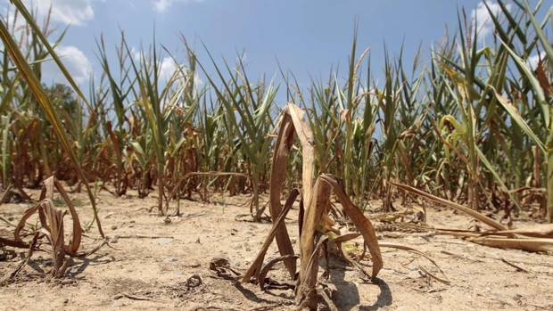 Corn plants struggle to survive in a drought-stricken farm field near Evansville, Ind. Broiling heat has blanketed much of the U.S. Midwest this week, exacerbating the region's worst drought in more than 50 years and devastating corn, soy and other vital crops. (JOHN SOMMERS II/REUTERS)