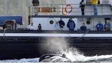 Luna, a four-year-old Orca, bounds and plays in the wake of the Uchuck, a working coastal vessel that offers passenger and freight service in Nootka and Kyuquot Sounds, near Mooyah Bay in the Gold River area on Thursday May 20, 2004. The family pod of Luna the lonely whale is just 80 kilometres south of his Gold River location on the West Coast of Vancouver Island. (Deddeda Stemler/CP)