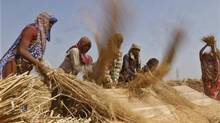 Labourers thresh paddy crop in a farm at Sanand in Gujarat, India, on Oct. 30, 2012. (AMIT DAVE/REUTERS)