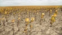 Dead sunflowers in parched field. (Thinkstock/Getty Images/Comstock Images)