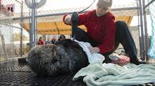 Lindsaye Akhurst, Vancouver Aquarium marine mammal rescue manager, blow-dries and grooms an injured sea otter after medical procedures. (Neil Fisher/Vancouver Aquarium)