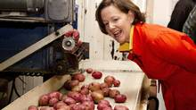 Alberta Conservative Leader Alison Redford looks over a conveyor belt moving potatoes for packing while touring Scholing's Produce Inc. during one of her stops on the campaign trail in Lacombe Alta, on Wednesday April 18, 2012. (Jason Franson/The Canadian Press/Jason Franson/The Canadian Press)
