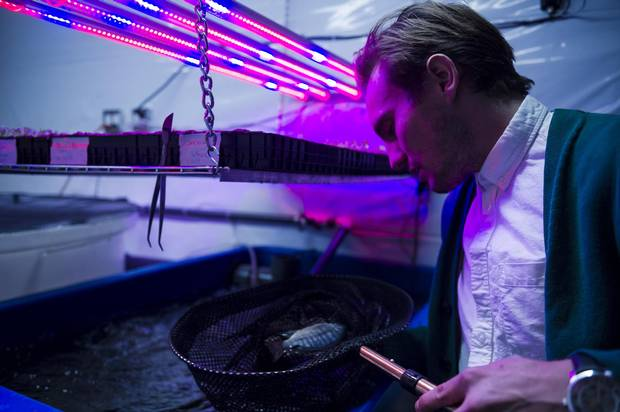 Steven Bourne, co-founder of Ripple Farms Inc., inspects some of the fish his team uses to create nutrient-rich water to fertilize plants in their aquaponic lab on Seneca College's campus on Wednesday.