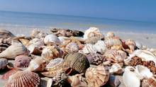 There are lots of shells to discover on the beaches of Sanibel Island in Florida.