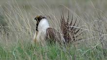 The federal government intends to introduce an emergency protection order for the sage grouse, which is native to the southern Prairies. (C.Olson/THE CANADIAN PRESS)