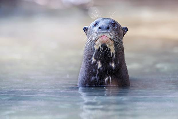 Exploring Brazil S Pantanal In Search Of The Giant River Otter