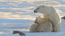 FILE PHOTO: The debate over the polar-bear population has been raging for years, frequently pitting scientists against Inuit. (Reuters)