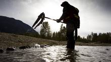 A DFO technician pulls dead Sockeye Salmon out of the Adams River in B.C. to estimate the size of the run. (JOHN LEHMANN/The Globe and Mail)