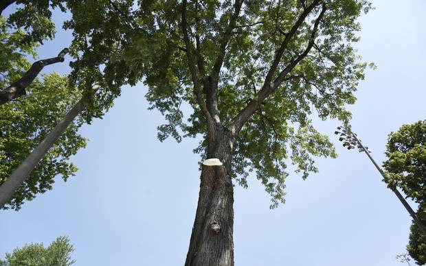 A fresh cut shows on this tree in Dovercourt Park on July 6 2016. This tree was the one that dropped a limb narrowly missing two sisters sitting beneath it.
