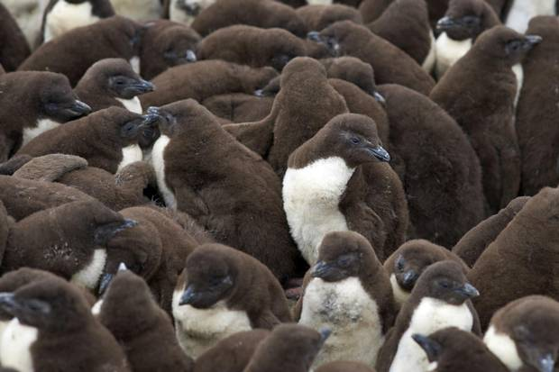 Penguin chicks huddle together on the coast of Bleaker Island.