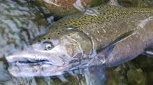A chinook salmon. (James Craig)