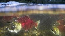 Sockeye salmon make their way up the Adams River at Roderick Haig-Brown Provincial Park north of Chase B.C. October 12, 2010. (John Lehmann/ The Globe and Mail/John Lehmann/ The Globe and Mail)
