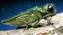 Insect experts are telling people in not to bother treating their ash trees for the destructive insect called the emerald ash borer. (David Cappaert/AP)