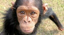 Chimp sanctuary in Congo (Andrew Westoll for The Globea nd Mail/Andrew Westoll for The Globea nd Mail)