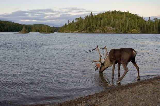 Ontario's Slate Islands, an archipelago on Lake Superior, is a provincial park where boreal caribou have lived safe from predators for more than 100 years.