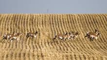 Pronghorn antelope cross a stubble field near Netherhill, Sask. (MIKE STURK)