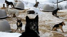 Sled dogs rest at a kennel operated by Whistler Outdoor Adventures near Whistler, B.C., on Saturday February 5, 2011. (Darryl Dyck/ The Globe and Mail/Darryl Dyck/ The Globe and Mail)