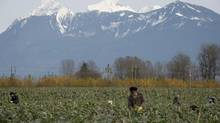 Harvesters pick brussels sprouts in Chilliwack, B.C. Monday, Nov.11, 2013. (JONATHAN HAYWARD/THE CANADIAN PRESS)