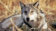 Gray wolves have thrived in the West since their reintroduction into Yellowstone National Park. (NYT)