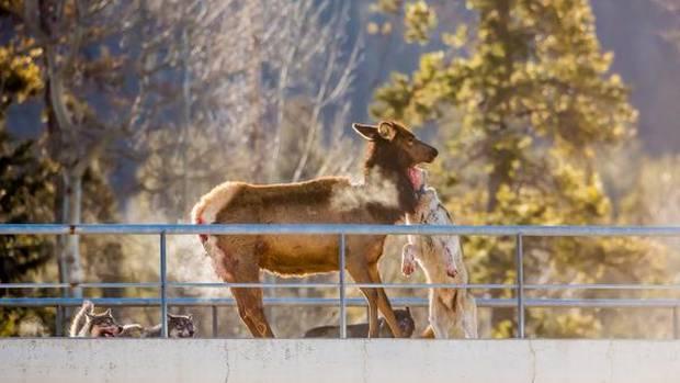 Wolf attack an elk on an overpass in Banff National Park.