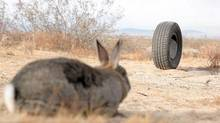"The killer tire confronts a doomed rabbit in a scene from ""Rubber."" (handout)"