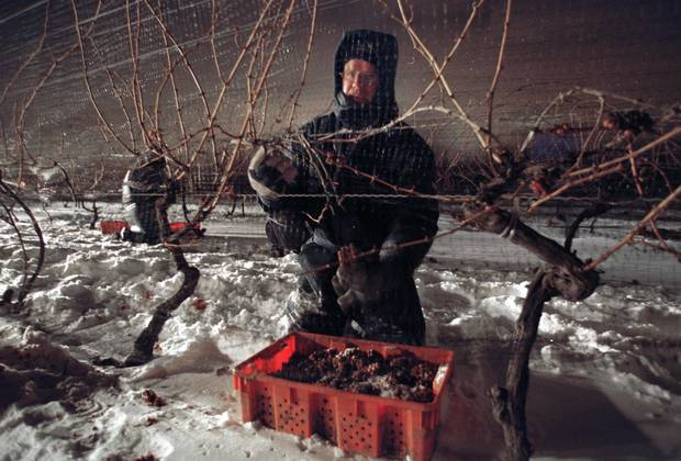 An Inniskillin Winery grape picker harvesting vidal grapes during a 2002 cold snap. The harvest is usually at the end of December or the start of January.