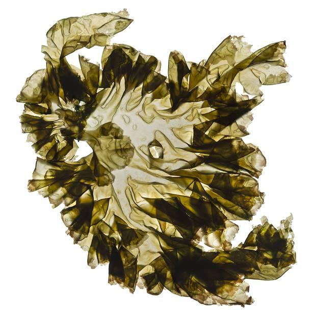 Nori (Porphyra umbilicalis)