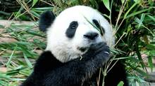 A giant panda at China's Chengdu Panda Base, in Sichuan province. (AFP/Getty Images)
