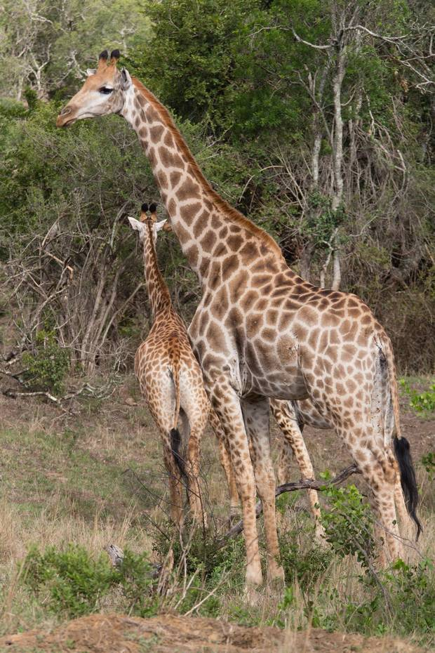 Giraffes are just one of the many species to be found while exploring South Africa's Hluhluwe-Imfolozi Park.