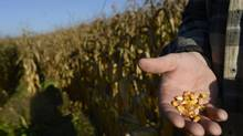 Henry Van Ankum is photographed on his brother's farm near Alma, Ont. Ankum is growing corn on his own 200 acres but also helps work his brother's 50 acres. Ankum and other corn growers are concerned about the low prices their crops will fetch. (Fred Lum/The Globe and Mail)