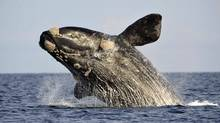 A southern right whale, known in Spanish as ballena franca austral, jumps off the water in the Atlantic Sea, offshore Golfo Nuevo, near Argentina's Patagonian village of Puerto Piramides, June 17, 2011. (Reuters)