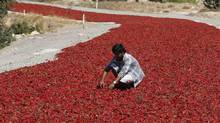 A farmer checks peppers laid out on a road for a week-long drying process in Turkey's Kilis province. (UMIT BEKTAS/REUTERS)
