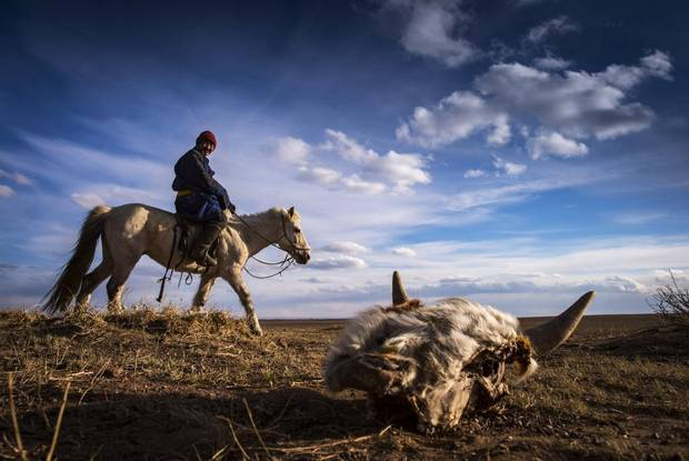 Gantumur, a 51-year-old Mongolian herder, rides past a dead cow near Adaatsag, Mongolia April 16, 2016. Gantumur has already lost 60 of his 100 goats and sheep, after a fierce winter that has taken a grim toll on the Mongolian steppe.