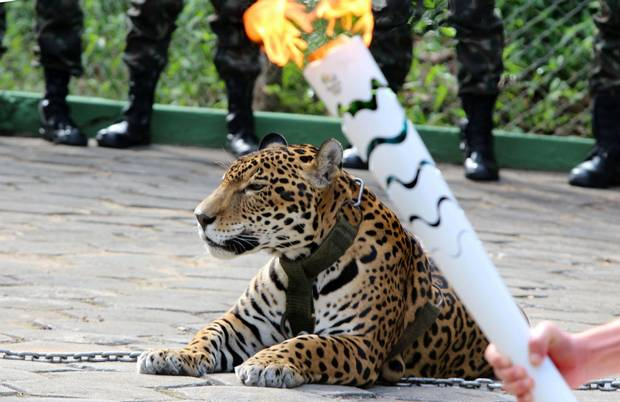 The Olympic torch is seen by a jaguar during a ceremony in Manaus on Monday. Juma was shot dead by soldiers shortly after the ceremony when he escaped.