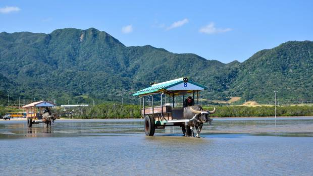 Water buffalo carts between the Japanese tropical islands Iriomote and Yubu.