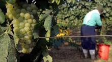 A worker picks grapes in the vineyard of the Golan Heights Winery in the northern Israeli village of Merom Golan in August 2006. (Yonathan Weitzman / Reuters/Yonathan Weitzman / Reuters)