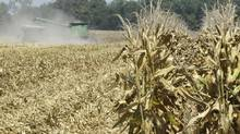 In this Aug. 15, 2012 file photo, corn is harvested in a parched field near Coy, Ark. Poorer countries concerned about the price of basic staples are counting on Argentina to help compensate for last year's poor corn crop in the United States, the world's No. 1 supplier. (Danny Johnston/AP)