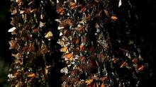 Monarch butterflies gather on a tree at the El Rosario Butterfly Sanctuary near Angangueo, Mexico. (KIRSTEN LUCE/ASSOCIATED PRESS)