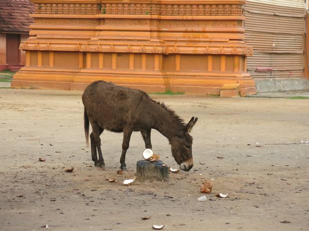 A donkey eats a coconut outside Nallur Kovil in Jaffna.