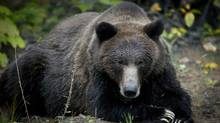 A grizzly bear sow in the Bella Coola Valley near Tweedsmiur Park Lodge October 8, 2011. (John Lehmann/GLOBE AND MAIL)