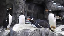 Gentoo penguins settle in to their new pen at the Calgary Zoo on Feb. 17, 2012. One gentoo penguin and one Humboldt penguin have died at the zoo, of avian malaria and a fungal infection, respectively. (LARRY MACDOUGAL/THE CANADIAN PRESS)