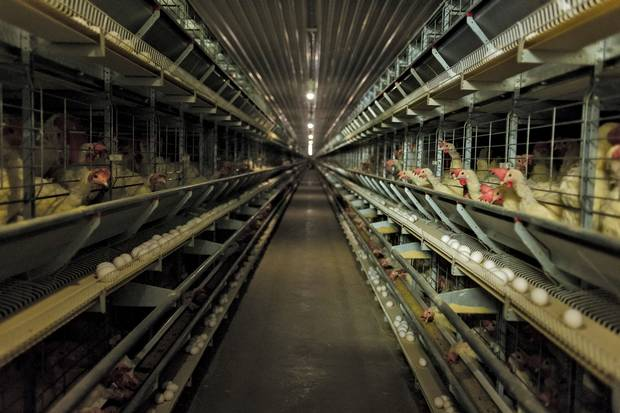 The German-build mechanized system not only houses thousands of chickens in 'furnished'cages at the Pelissero family farm, it uses a network of conveyor belts to carry off their output for sorting.