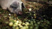 A hog rests in a bed of vegetables and fruit on a farm in Central Saanich, B.C., October 13, 2013. Canada is being cited by a veterinary journal for its failure to effectively regulate the use of veterinary antibiotics. (CHAD HIPOLITO For The Globe and Mail)
