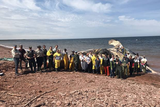 On a Prince Edward Island beach on June 30, experts dissect and haul away a right whale carcass.