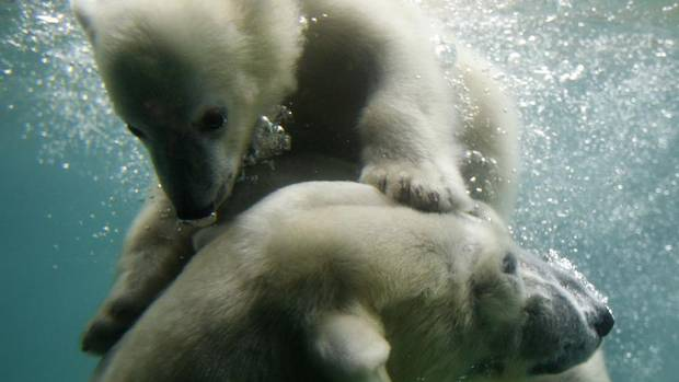 Polar bear cub Anori, top, swims with her mother, Vilma, in their enclosure at the zoo in Wuppertal, Germany, June 6, 2012. (INA FASSBENDER/REUTERS)