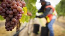 Grapes from B.C.'s South Okanagan Valley, pictured here, are a key ingredient of the delicious Clos du Soleil Célestiale 2010. (JOHN LEHMANN/The Globe and Mail)