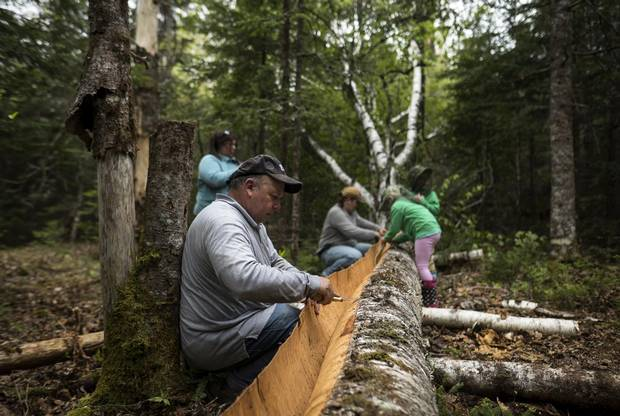Todd Labrador works to carefully get under the bark of a birch tree for harvesting purposes in Queen's County, N.S.